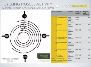 cycling muscles used